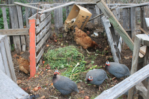 poultry scratches and peck at compost in a pile